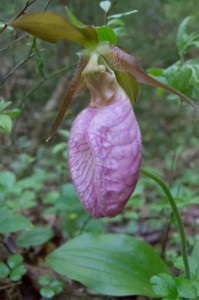Lady Slipper Greenwood Maine