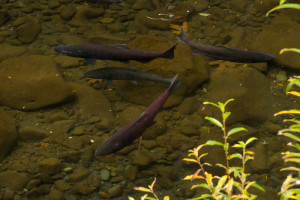 Eagle Creek Salmon